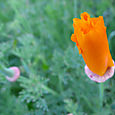 Big Sur: Coastal Flowers