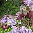harvesting water lillies