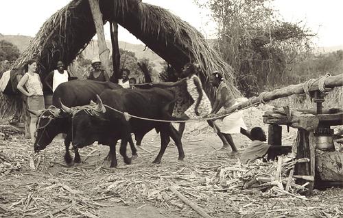 nana and josette work the sugarcane press